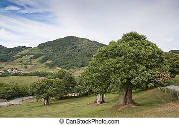 Chestnut trees in Navarra countryside (Spain), with Berute...