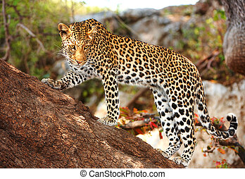 Leopard standing on the tree - Leopard Panthera pardus...
