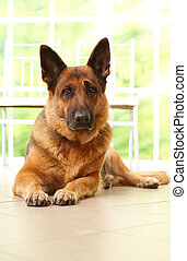 Dog laying in home - German shepherd dog laying in home