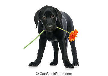 Puppy Labrador retriever holding a flower in its mouth....