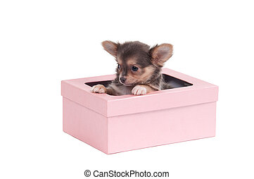 Cute chihuahua puppy sitting in pink gift box isolated on white background