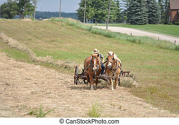 Belgian Draft Team raking hay - Amish country south of...