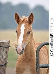 Belgian Draft Horse foal looking through worn green gate and...