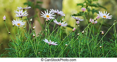 spring image of daisies in a field