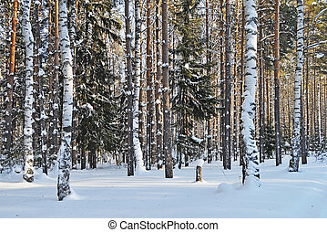 Birches and firs under snow in winter forest - Birch and fir...