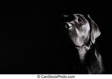 Black labrador retriever - Head of black labrador retriever...