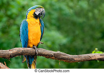 blue and yellow macaw (Ara ararauna) - close up of a...