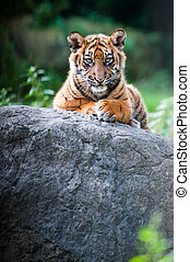 Cute Sumatran tiger cub - Cute sumatran tiger cub looking at...