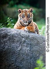 Cute Sumatran tiger cub - Cute sumatran tiger cub looking at...