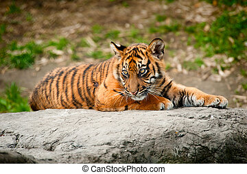 Cute sumatran tiger cub laying on a rock