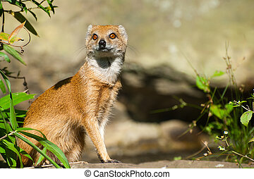 yellow mongoose - cute yellow mongoose (Cynictis...