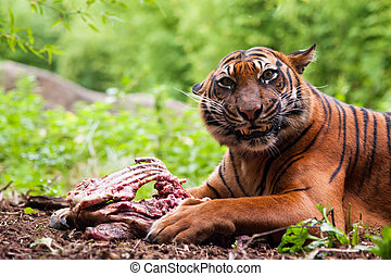 Sumatran tiger eating its prey on the forest floor