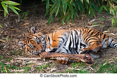 Cute sumatran tiger cub playing on the forest floor