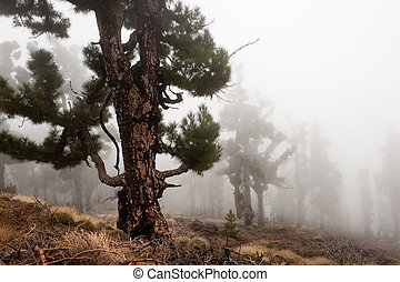 spooky forest of burnt trees in the clouds, La Palma, Canary islands, Spain