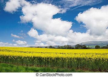 Rapeseed Field in Rural Somerset.