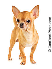 Chihuahua - Short coat chihuahua on a white background