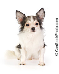 Chihuahua - Long coat chihuahua on a white background