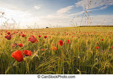 Barley crop with poppies in Toledo province Spain