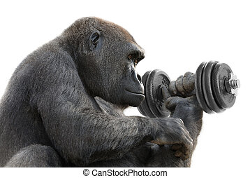 Gorilla working out with a dumbbell - Humorous concept shot...