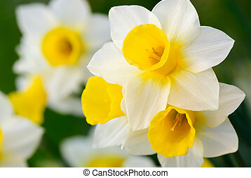 Gorgeous daffodils - Beautiful daffodils in white and...
