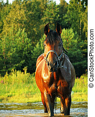 bay horse in the water