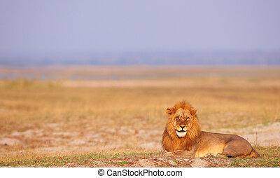 Lion panthera leo in savannah - Lion panthera leo lying in...