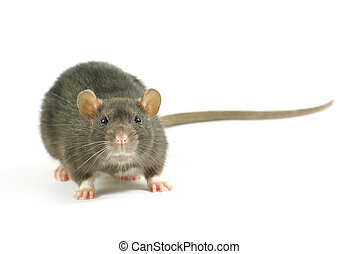 rat - funny rat isolated on white background