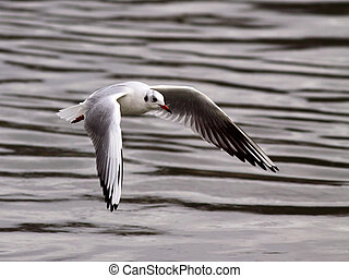 white little gull in flight - Beautiful white little gull in...