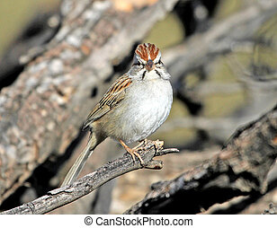 Rufous-winged Sparrow 1 - Rufous-winged Sparrow - Aimophila...