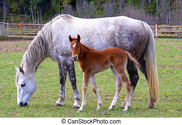 Mare and Foal - Mare and foal grazing