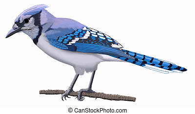 Blue Jay 2 - Blue Jay - Cyanocitta cristata - perched -...