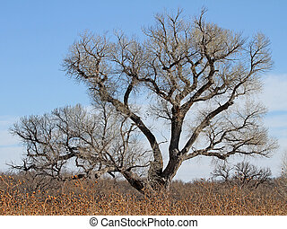 Winter Cottonwood 1 - Cottonwood tree - Populus fremontii -...