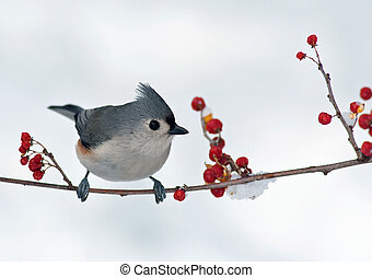 Tufted Titmouse and Berries - Tufted Titmouse Baeolophus...