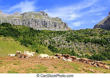 Bisaurin peak Pyrenees cow cattle on valley meadow Huesca...
