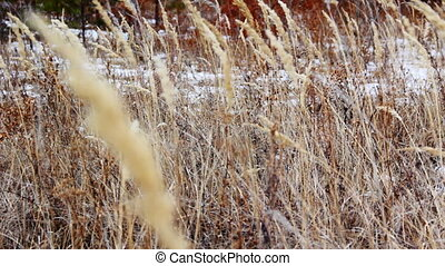 Autumn dry yellow grass swaying in the wind