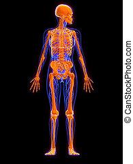 female anatomy - skeleton