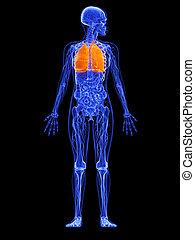 femininas, anatomia, -, pulmão