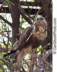 Buteo buteo. Bird of family of hawks.