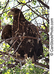 Haliaeetus albicilla Bird of family of falcon
