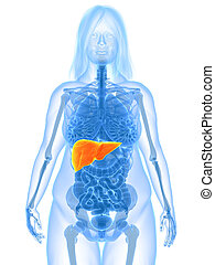 overweight female - liver