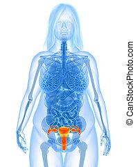 overweight female - uterus
