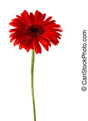 red gerbera - red flower of gerbera isolated on white...