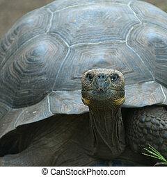 Gigante, tartaruga, Galapagos, Ilhas, Equador
