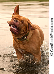 Wet Dogue De Bordeaux dog shaking in forest river