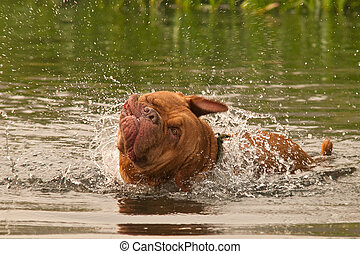 Wet dog of French Mastiff breed having a good shake while swimming
