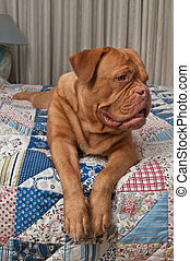 Lovely french mastiff puppy laying in bed with handmade patchwork quilt
