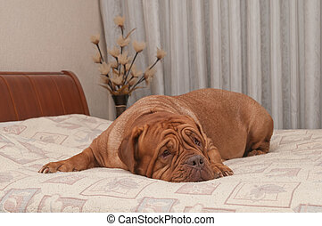 French Mastiff breed is missing her master lying on his bed...