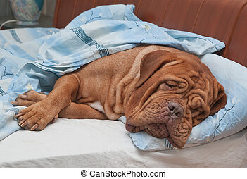 Dogue De Bordeaux Dog Sleeping Sweetly in Owner's Bed -...