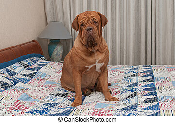 Dogue De Bordeaux puppy sitting on the bed with patchwork...