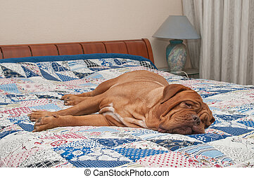 Cute Dogue De Bordeaux puppy lying on the bed with handmade quilt